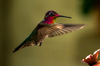 Show Off - Hummingbird
