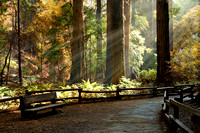Afternoon in a Redwood Forest