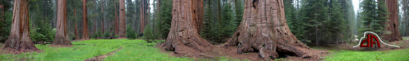 Sequoia National Park Redwoods - Panorama