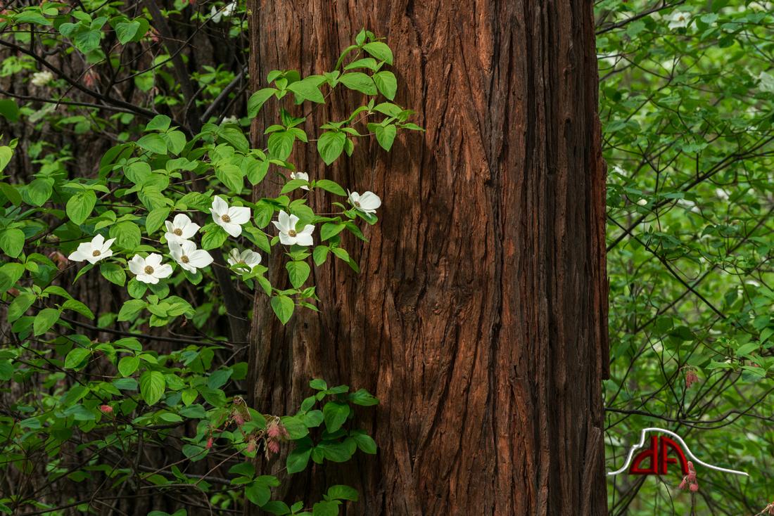 Dogwoods of the Sierra