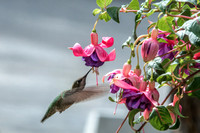 Female Anna feeding at the Fuchsia